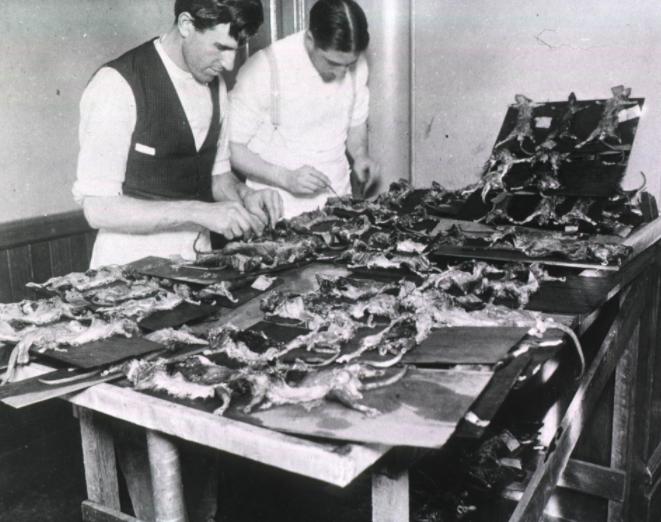 When bubonic plague first struck America, officials tried ...
